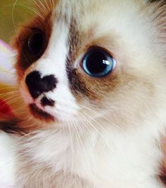 Did you know that every cats nose has a unique pattern of bumps and ridges? Just like a human. I Love Cats, Cool Cats, Beautiful Cats, Animals Beautiful, Snowshoe Kittens, Kittens Cutest, Cats And Kittens, Animals And Pets, Cute Animals