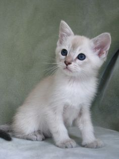 siamese kittens indiana | Cute Cats Pictures