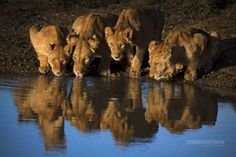 """A Lioness and her three cubs quenching their thirst at a waterhole that was a mere 5 minutes away from our camp during the recent Masai Mara tour. If you would like to join me on an upcoming photographic safari to Masai Mara go to : <a href=""""www.southcapeimages.com"""" target=""""_blank"""">South Cape Images</a>"""