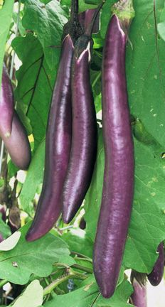 FENGYUAN PURPLE - This slender Asian eggplant is one of the longest available. Its beautiful purple skin is so thin that peeling is unnecessary and creamy white flesh is reliably mild with no bitterness. Eggplant Varieties, Eggplant Seeds, Eggplant Purple, Planting Vegetables, Organic Vegetables, Vegetable Gardening, Tomato Growers, Organic Gardening Catalogue, Garden Online