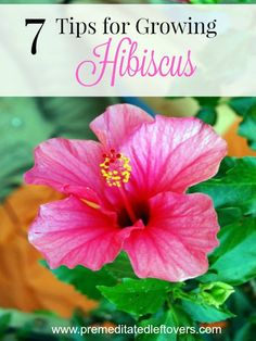 7 Tips for Growing Hibiscus in your yard. The Hibiscus plant is a tropical flower that hummingbirds and butterflies love. Planting some your yard is a wonderful idea for attracting pollinators to your garden. Grow your own hibiscus plants with these helpf Tropical Flowers, Hibiscus Flowers, Cactus Flower, Exotic Flowers, Hawaiian Flowers, Lilies Flowers, Purple Flowers, Flower Colour, Blue Hibiscus