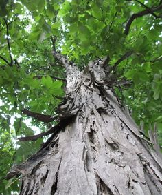 Understandably, we might initially be looking at trees for their potential for shade, screening, flowers, colorful foliage, fall color, or other characteristics, but the value of interesting bark shouldn't be forgotten.