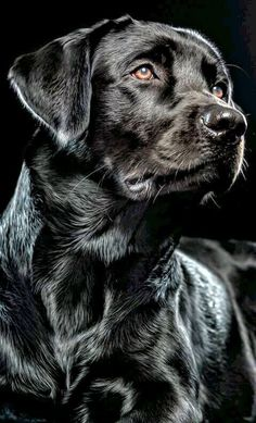 Mind Blowing Facts About Labrador Retrievers And Ideas. Amazing Facts About Labrador Retrievers And Ideas. Labrador Noir, Black Labrador Retriever, Labrador Retriever Dog, Schwarzer Labrador Retriever, Regard Animal, Dog Paintings, Dog Portraits, Beautiful Dogs, Beautiful Pictures