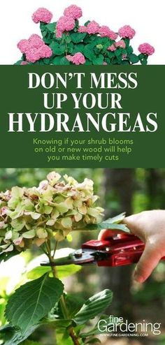 Learn how to trim your hydrangeas correctly to keep them growing beautifully year after year. How to prune hydrangeas article and video.