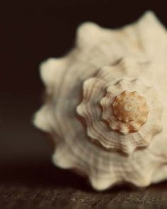 SALE Ocean Life Photograph Dark Chocolate cream white sea life beige fall autumn earthy- She Sells Seashells - Ocean Life, Under The Sea, Sea Glass, Sea Shells, Conch Shells, Seaside, Fine Art, Coastal Living, Coastal Decor