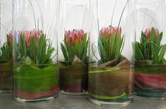 Protea centerpieces in glass cylindrical vases