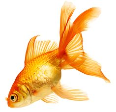 pictures of goldfish | shutterstock_70361200