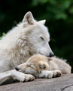 Arctic wolf cuddles.