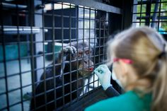 Medical experimentation on chimpanzees has ended, but moving all of them into retirement will be a difficult task.