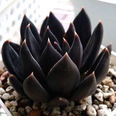 ▪️▪️ #leafandclay #echeveria #blackknight (: @ren_succulents)