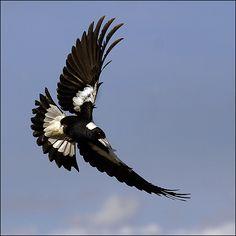 australian birds flying - Google Search