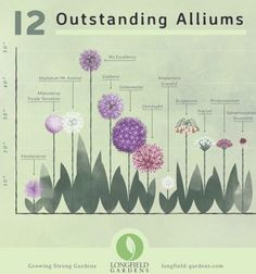 Many gardeners dont realize there are many types of alliums. With a little pl