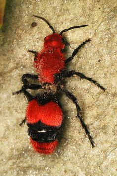 Dasymutilla Occidentalis Is A Species Of Parasitoid Wasp Native To The Eastern United States It Commonly Mistaken For Member True Ant Family