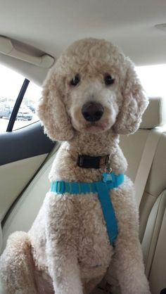 2 year old Standard Poodle Bosley - Going for a ride in the car #Poodle