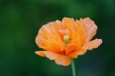 Orange Poppy | by j man.