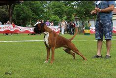 Boxer, Horses, Animals, Doggies, Animaux, Horse, Animal, Animales, Boxer Dogs