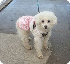 3/21/17 Bronx, NY - Poodle (Standard) Mix. Meet Porscha, a dog for adoption. http://www.adoptapet.com/pet/17803253-bronx-new-york-poodle-standard-mix
