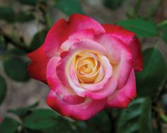Here's a short history of rose fragrances, which have enchanted humans for millennia: http://www.heraldnet.com/article/20140508/LIVING03/140509323/1172/Endless-love