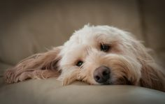 Riley the Cockerpoo by Paul Mansfield on 500px