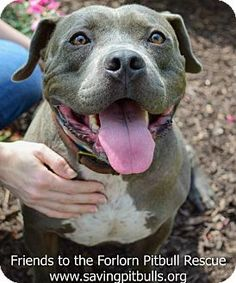 Pictures of Charlie Blue a Pit Bull Terrier for adoption in Dallas, GA who needs a loving home.