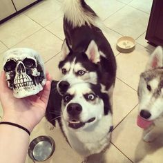 Cute huskies