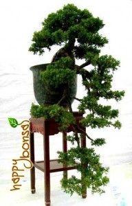 Bonsai Tree - Juniperus Juniper