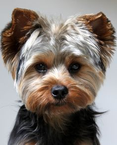 Yorkshire terrier owners often ask How often should you bathe a Yorkie. Read lots of tips about Yorkie bathing here. Beautiful Dogs, Animals Beautiful, Cute Animals, House Beautiful, Yorkie Cuts, Yorkie Teddy Bear Cut, Teddy Bears, Yorkie Hairstyles, Hairstyles Haircuts