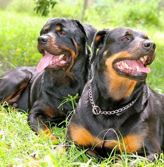 Rottweilers are so pretty!!  I think I'd name mine Sinbad.  Or maybe Axle :) Maybe I'd just get two :P