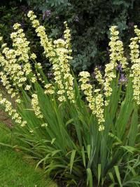 Sisyrinchium striatum - vertical accent all year round. Long lasting pale yellow flowers in summer. Yellow Shrubs, Yellow Perennials, Yellow Plants, Yellow Flowers, Gravel Garden, Garden Shrubs, Garden Landscaping, Indoor Flowering Plants, Cottage Garden Plants