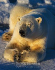 Polar bear (Ursus maritimus) resting on the ice, Nordaustlandet, Svalbard | Isbjørn på Svalbard | Ole Jørgen Liodden