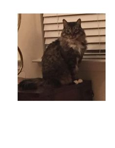 Lost Cat - Maine Coon - Pooler, GA, United States 31322#LOSTCAT #Tater #Pooler (Highlands Blvd & South Park Loop)  #GA 31322 #Chatham Co. , #Lost #Cat 03-03-2016!, Female #Maine Coon Mix/  CONTACT lkjacobellis@gmail.com Phone: 253-973-3052 #lostcatsgeorgia  To see this pet's location on the Helping Lost Pets Map: http://www.helpinglostpets.com/v2/?pid=1033860  More Info: http://www.helpinglostpets.com/petdetail/?id=1033860 Let's get this Cat home!