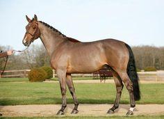 selle Français stallion- Messire Ardent - F. Monneron