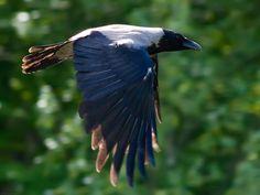 Magpie in flight by TomiTapio.deviantart.com on @deviantART