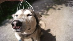 The dog proving that everyone loves a good head massage. | The 50 Most Important Dog GIFs Of All Time