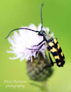 Yellow and black Longhorn beetle.