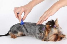What is The Best Yorkie Brush? How to brush a Yorkshire terrier | Yorkiemag