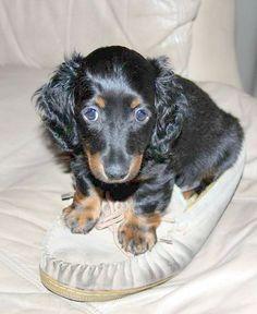 #Dachshund #puppy