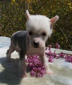 Chinese Crested Puppies For Sale - Mystical Chinese Crested : Other