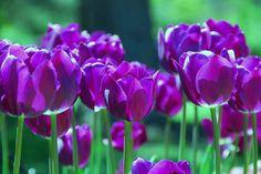Purple Tulips by Allen Beatty