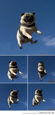 Летающие мопсы