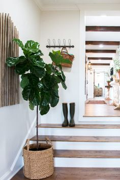 Fiddle Leaf Fig tree - Love the plant pot.