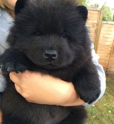 Dogs that look like teddy bears