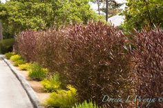 Purple Hopseed Bush (Dodonaea viscosa purpurea) hedge idea - All For Garden Landscape Design, Garden Design, Terrace Design, Landscape Architecture, Colorful Shrubs, Dwarf Shrubs, Front Yard Design, Australian Garden, Plunge Pool