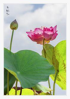 Lotus by Thao Nguyen Dac