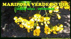Amazônia - Bicho do Mato - Borboleta Mariposa Verde do Dia - Urania leil...