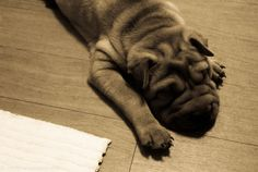 My friend Jo's dog, Ginger the Shar pei #dogs #pets