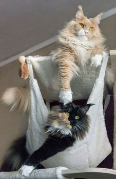 Interested in owning a Maine Coon cat and want to know more about them? We've made this site to tell you all you need to know about Maine Coon Cats as pets Cool Cats, I Love Cats, Crazy Cats, Gatos Maine Coon, Maine Coon Kittens, Pretty Cats, Beautiful Cats, Kittens Cutest, Cats And Kittens