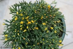 Rhipsalis salicornioides - Google otsing