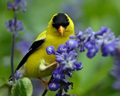 American Goldfinch and Purple Salvia (Explored!)