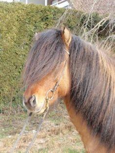 Isländer Wallach mit viel Naturtölt in Sonderfarbe in Niedersachsen - Bardowick | Ponys günstig kaufen | eBay Kleinanzeigen